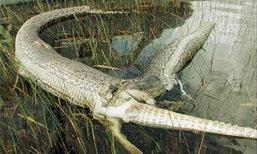 อึ้ง! งูเหลือมเขมือบจระเข้ จนท้องแตกตาย