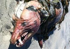 ฮือฮา! ตัวประหลาดเกยหาดแคลิฟอร์เนีย