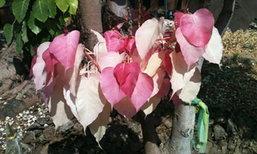 ฮือฮา! ต้นโพธิ์สีชมพู ที่อำเภอสอยดาว