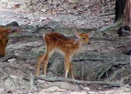 ลูกกวางบาราซิงฮาสมาชิกใหม่สวนสัตว์สงขลา
