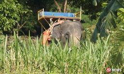 ระทึกขวัญ ช้างพลายเกาะสมุยคลั่ง สะบัดฝรั่งร่วง-งาแทงสยอง