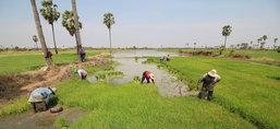 เกษตรกรโคราชเร่งถอนกล้ากังวลน้ำไม่พอใช้