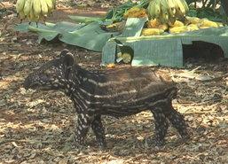 สวนสัตว์โคราชชวนประกวดตั้งชื่อลูกสมเสร็จ