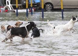 แก๊งน้องหมา ร่าเริง เล่นน้ำท่วมขัง ใน ม.รามฯ