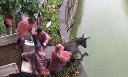 อึ้ง! สวนสัตว์จีนจับลาเป็นๆโยนใส่กรงให้เสือขย้ำเป็นอาหาร