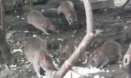 ตะลึง! พบหนูนับ 100 ตัว โผล่ขึ้นจากท่อกินเศษอาหารหน้าห้างดังสระบุรี