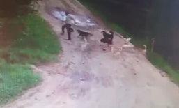 สลด! ฝูงสุนัขในรัสเซียรุมกัดรปภ.ที่เคยให้อาหารนานกว่า 2 ปีจนเสียชีวิต