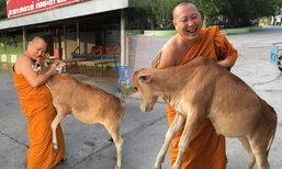 ชาวเน็ตฮือฮา ลูกวัวกำพร้าวัดดัง กตัญญูรู้คุณกับพระคุณเจ้า