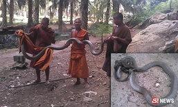 พระสงฆ์กระบี่จับแยก งูเหลือมปะทะงูจงอาง ต่อสู้กันดุเดือด