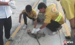 รถปิกอัพชนลูกลิงหลงฝูง ตายต่อหน้าต่อหน้าชาวบ้านนับสิบ