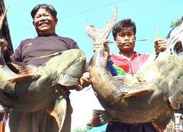 ชาวนครพนมเจอปลาแค้ยักษ์หนักเฉียด40กก.