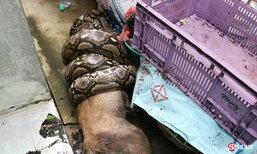 ภาพสยอง งูเหลือมเขมือบหมาใหญ่ จับได้หลักฐานคาปาก