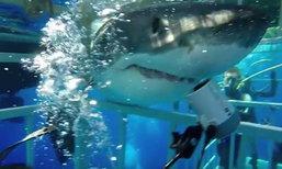 ภาพอีกมุม ฉลามดุมาก จู่โจมเข้ากรงบุกถึงตัวนักดำน้ำ