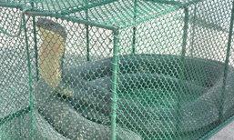 ชาวบ้านแตกตื่น งูจงอางยาวกว่า 3 ม. ในท่อระบายน้ำ