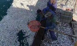 ฝูงปลาลอยเกลื่อนทะเลในจีน ประมงเข้าจับหนักรวมกว่า 9 พันกก.