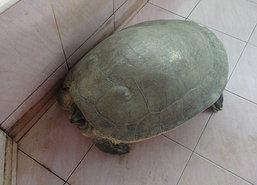 ชาวสตูลช่วยเต่ากระอานอายุ50ปีถูกเบ็ดเกี่ยวขา