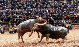 ศึกดุเดือด! ประเพณีแข่งขันวัวชนที่จีน