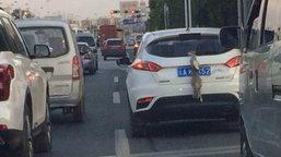 วิจารณ์สนั่น! เก๋งในจีนจับกระต่ายผูกติดท้ายรถ