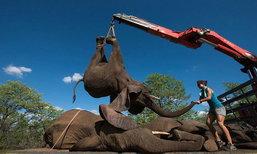 ตื่นตา! เจ้าหน้าที่ใช้เครนยกช้าง ขนย้ายกลับเขตอนุรักษ์ในแอฟริกาใต้