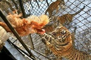 ภาพเสือไซบีเรีย ต้นตระกูลแมว