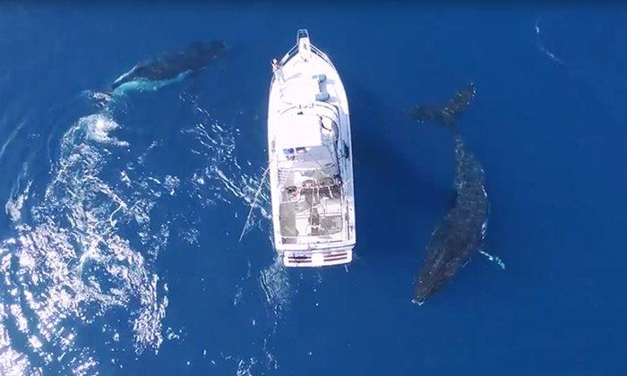 แทบหยุดหายใจ ภาพหาดูยาก ฝูงวาฬว่ายน้ำเล่นกับเรือยอร์ช
