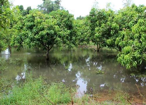 น้ำป่าหลากท่วมสวนมะม่วงพิจิตรเสียหายกว่า500ไร่