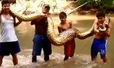 """ฮือฮา ชาวบ้านเปรูจับงูยักษ์""""อนาคอนด้า""""ตัวยาว 16 ฟุต ในป่าอะเมซอน"""