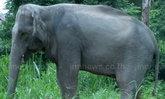 กรมอุทยานแห่งชาติฯอนุมัติเงินช่วยอาหารช้างป่า