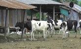 เกษตรกรจันทบุรีเดือดร้อนไร้หญ้าเลี้ยงโค