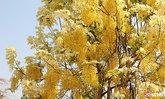 ต้นคูนประหลาดเหลืองทั้งต้น ชาวบ้านอดใจไม่ไหวรุดหาเลขเด็ด