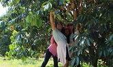 แห่ชมสวน-ขี่ม้า-กินทุเรียนสวนผลไม้จันทบุรี