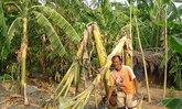 อ่างทองแล้งสวนกล้วยขาดน้ำหักโค่นเสียหาย