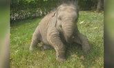 """สุดเศร้า """"พลายดานเต้"""" ช้างตัวเล็กที่สุดในโลก ล้มตายฉับพลัน"""