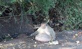 """หายห่วง! ยืนยัน """"ลุงอ้วน"""" ลิงพุงพลุ้ย แข็งแรงดี ไม่เจ็บป่วย"""