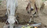 อ่างทองนำแคนตาลูปให้วัววัดดังกินแทนหญ้า