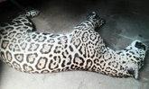 เสือจากัวร์นักโชว์ 100 ล้านวิว ตายแล้วที่เชียงใหม่ไนท์ซาฟารี