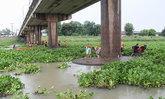 ผักตบชวากว่า15,000ตันปกคลุมแม่น้ำมูล
