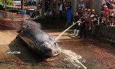 ญี่ปุ่นจบฤดูล่าวาฬประจำปีนี้ สังหารไป 115 ตัว
