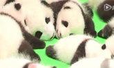 เมืองจีนเปิดตัว ลูกแพนด้า พร้อมกัน 23 ตัว น่ารักมุ้งมิ้ง