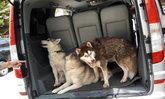 ช่วย3สุนัขไซบีเรียนถูกขังเจ้าของยันไม่ได้ทอดทิ้ง