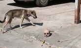 หมาวัดคาบกะโหลกมนุษย์แทะเล่น พระเชื่อวิญญาณดลใจหวังช่วยตามหาญาติ