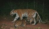 """พบ """"เสือโคร่ง"""" ในป่ามรดกโลก """"ดงพญาเย็น-เขาใหญ่"""" รอบ 15 ปี"""