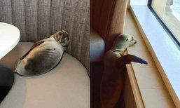 ชาวเน็ตเอ็นดู สิงโตทะเลน้อยเกยตื้นแอบหลับในภัตตาคาร