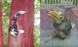 สะเทือนใจ ลูกนกเงือกร้องหาแม่ไม่หยุด หลังถูกคนใจบาปฆ่าแม่ตายคารัง