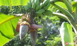 ฮือฮา! กล้วยประหลาด 2 หวีในเครือเดียว แฝด 2-3 ใบติดกัน