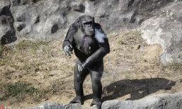 สลด! ชิมแปนซีในสวนสัตว์ในเกาหลีเหนือ ติดบุหรี่หนัก