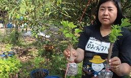 ครูจันทบุรีปลูกมัลเบอร์รีในสวนทุเรียนโกยนับหมื่น
