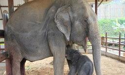 ช้างไทยเกิดใหม่อีกเชือกที่ลำปางรอการตั้งชื่อ