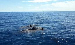 ฝูงวาฬเพชฌฆาตดำโผล่โชว์ตัวที่กองหินริเชริว
