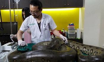 ยกนิ้วให้! สัตวแพทย์ไทยช่วยงูอนาคอนด้า ผ่าเนื้องอกออก